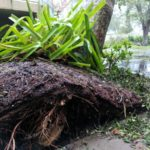 naples florida pebble shores hurricane irma uprooted tree